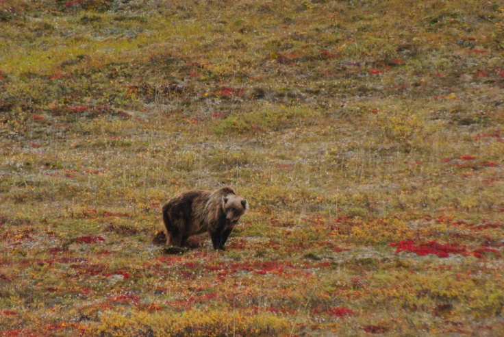 barren ground grizzly alaska