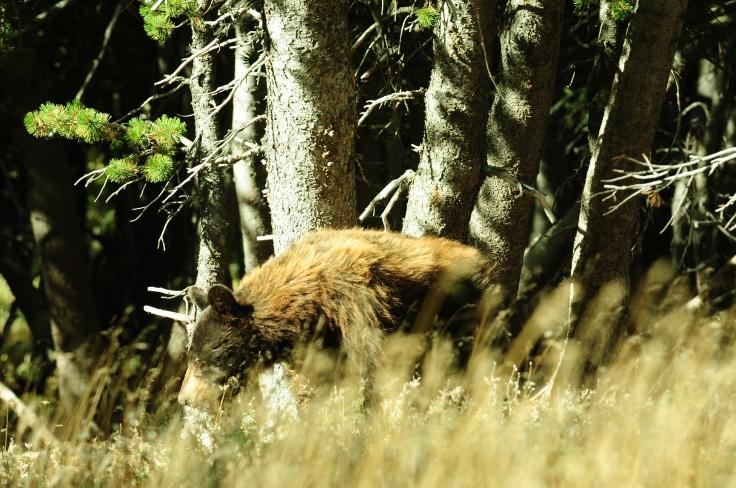 black bear absaroka beartooth wilderness.JPG