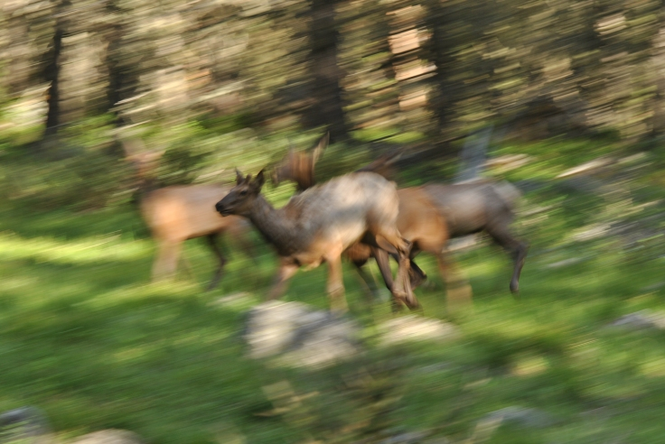 fleeing elk absaroka beartooth wilderness.JPG